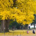 main_gingko